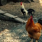 Green Springs Chickens