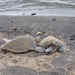 More turtles than you can shake a stick at. Make sure you stay back 20 feet on land!!