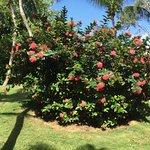 Très bel hibiscus