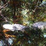 Der Alligator beim Boardwalk