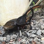"""Beautiful rhinoceros beetle we found on the path in the garden - 6"""" long!"""