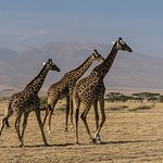 A Few of the Many Giraffes We Saw in the Area