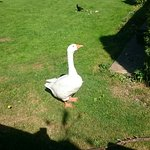 George. The moody goose