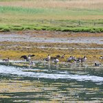 Gaggle of geese on Loch Melfort