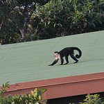 Monkey on a Hot Tin roof !