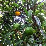 Limones en los jardines