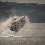 Spectacular breach by Humpback Whale
