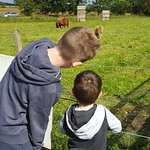 Highland Cows & feeding the goats