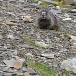Edith Cavell - Marmot