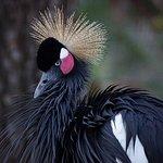 Grue couronnée noire Fréjus