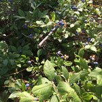 Blueberries right outside my site.