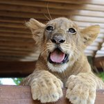 Jaglion Cub