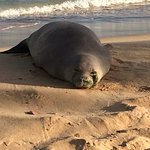 Lots of monk seals come to nap on the beach
