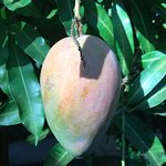 enjoyed the mango tree right outside our roomm