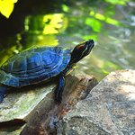 This painted turtle has recently been added to the habitat to the delight of the children .