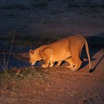 Lioness with 2 cubs on the evening drive!