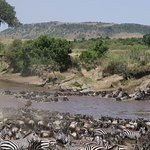 Wildebeest & Zebra trying to cross, 2 crocs lying in wait and 3 aggressive hippos in attendance!