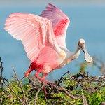 Roseate Spoonbill, Official bird of Port Aransas