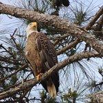 Bald Eagle on Santa Rosa Sound