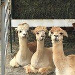 Foto de Eastland Alpacas