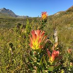 Beautiful fynbos next to the trail