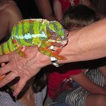Colourful Chameleon being shown to visitors