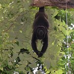 Howler Monkey in the Guanacaste tree at the hotel