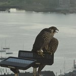 The Custom House hosts a breeding pair of falcons; one landed by our window