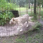 His friend the white tiger