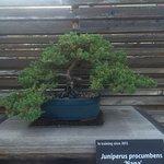 Nice little juniper bonsai