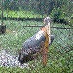 Giant Stork