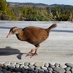 Friendly Weka on the deck - don't leave anything small lying around!
