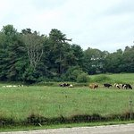 Camping with cows!