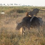 Pride of 13 lions killing a Buffalo