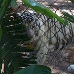 Foto de White Tiger Habitat at the Mirage