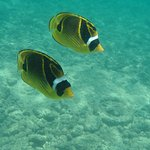 butterfly fish pair 2