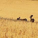 Deer grazing in the field - view from our balcony