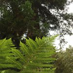 Fern Grove means -- a grove of ferns under the redwoods!