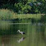 Heron fishing in North Bennington