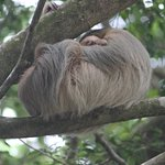 two-toed sloth with baby by pool