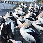 Photo de Pelican Feeding