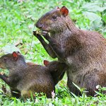 Agouti and kits on the grounds.  Ecuadorian name: Watusa
