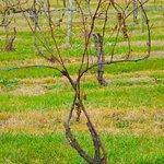 Vineyard in December