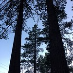Tall, tall pines surround the Rustic Cottages.