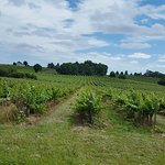 Beautiful vineyards all over on the way to this Bed and Breakfast