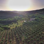 Drone shot of Podere Felceto and olive fields