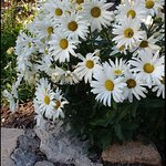 Lots of white daisies!