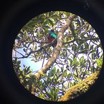 This is the Quetzal we saw with a long tail. This picture is posible thanks to the telescope ...