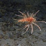 Fish in the rock pool - baby lion fish