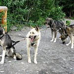 Wildthingz Dog Mushing, June 2016